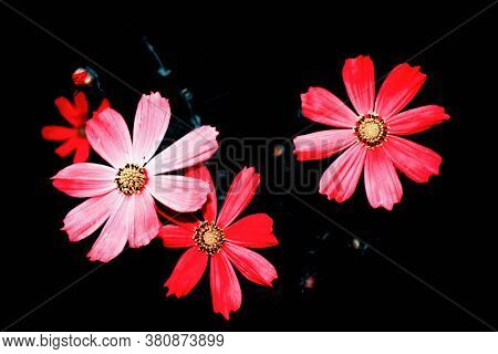 Bright Colorful Cosmos Flowers Isolated On Black Background. Nature