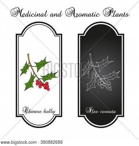 Chinese Or Horned Holly Ilex Cornuta , Medicinal Plant. Hand Drawn Botanical Vector Illustration