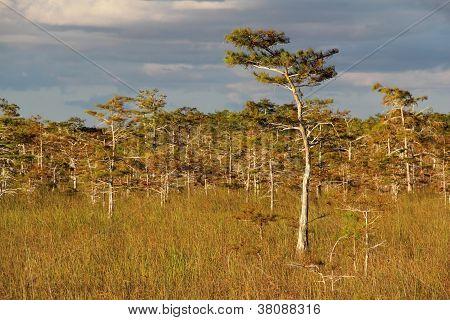 Cyprees Trees