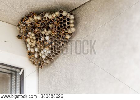 A Large Hornets Nest. You Can See Empty And Filled Cells And Wasp Insects. The Nest Is Hangs In The