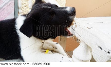 Black-white Young Dog Nibble At Wooden Chair