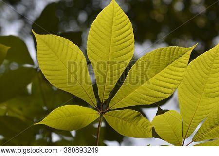 Bottlebrush Buckeye Leaves - Latin Name - Aesculus Parviflora