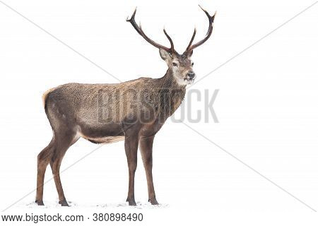 Magnificent Red Deer Standing On Snow Isolated On White Background.
