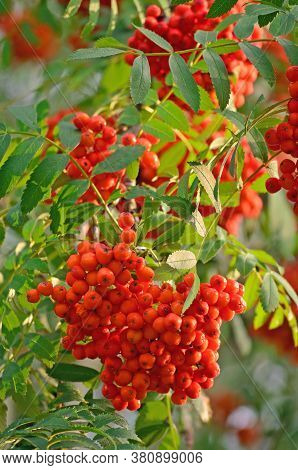 Sorbus aucuparia ashberry rowan tree mountain ash S. sorb service shrub, red ripe fruits, leaves, bright vertical sunny rowanberry leaf macro closeup. European quick beam natural hybrid rowan-berry foliage leaflets, multiple orange yellow scarlet pomes