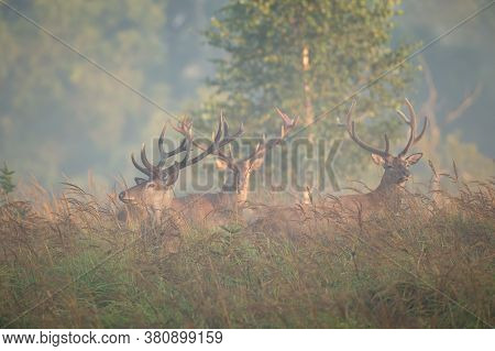Herd Of Red Deer Stags Standing On Glade In Morning Fog.