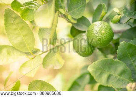 Green Lemon Hanging From The Branches Of Tree. Tropical Fruit Growing Up In The Garden At Home One O