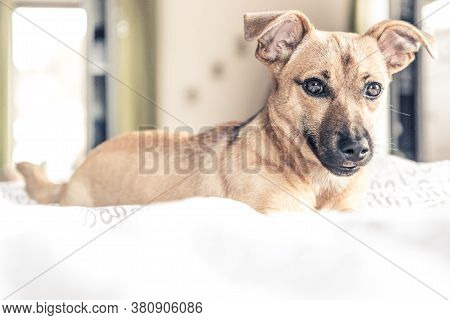 Dog On White Fluffy Carpet At Home. Background With Dog In Light Colors. Sad Puppy Relax On Carpet.