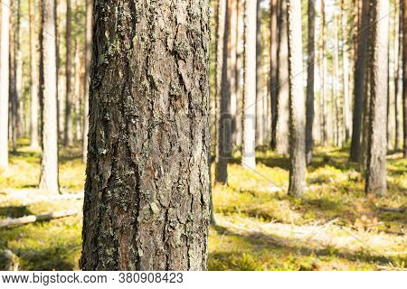 Green Wild Forest Nature. Beautiful Green Rain Forest. Pine Forest. Natural Environment. Pine Trees