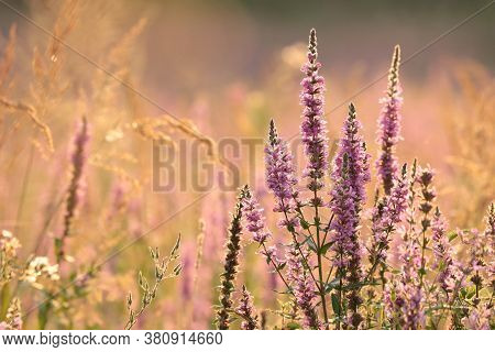 Loosestrife field sunset sunrise Nature background Nature background garden Nature background wild flowers meadow Nature background sun Nature background morning Nature background flower bloom Nature background wildflowers blossom Nature background.