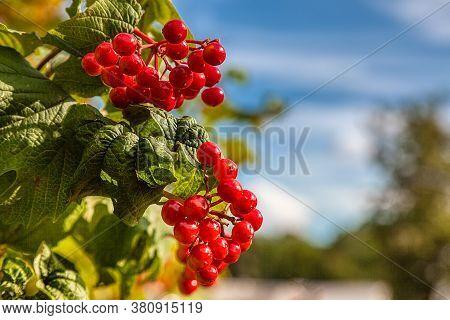 Close-up Of Beautiful Red Fruits Of Viburnum Vulgaris. Guelder Rose (viburnum Opulus) Berries And Le