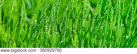 Wide Banner Made Of Wet Juicy Green Grass With Shiny Morning Dew Droplets On It At Summertime For Te