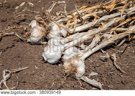 Garlic: Bunch Of Fresh Garlic Harvest On Soil Ground. Freshly Dug Heads Of Garlic Bulbs.
