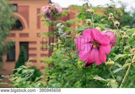 Pink Flower Of Mallow (lat. Alcea Rosea) On The Background Of A Brick House.