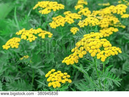 Yellow Tansy Flowers (tanacetum Vulgare, Common Tansy Plant, Bitter Button, Cow Bitter, Or Golden Bu