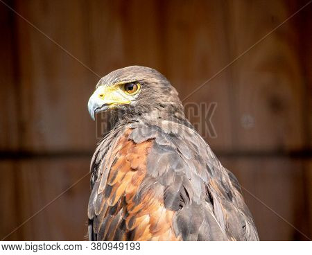 View Of A Harris Hawk, Parabuteo Unicinctus, Formerly Known As The Bay Winged Hawk Or Dusky Hawk, An