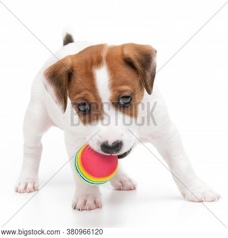 Jack Russell Terrier Puppy Playing With Toy And Chew Ball In Mouth Isolated On White Background.