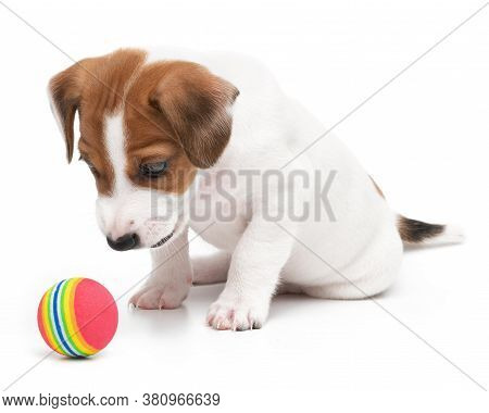 Jack Russell Terrier Puppy Playful And Happy Playing With Toy Ball Isolated On White Background.