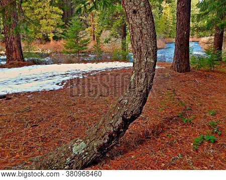 Pine Curve - An Unusual Ponderosa Pine Tree In The Forest Along The Metolius River Downstream From L