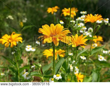 A Yellow Flower Of Heliopsis Close-up On Glade Against A Blurred Background Of Other Meadow Flowers.