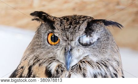 Eurasian Eagle Owl - Bubo Bubo, With One Eye Closed.