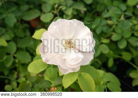 Single White Rose Growing On Plant. Rosa Chinensis