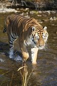 Adult Siberian Tiger in Clear Cold Mountain Stream poster