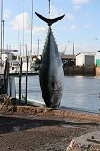 A giant blue fin tuna is prepared to be bought ashore poster