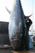 A giant blue fin tuna is prepared to be butchered poster