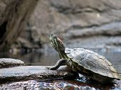 red eared slider on a rock poster