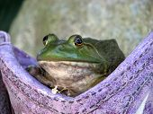 Green frog posing for a picture in cowboy boot. poster