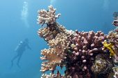 coral reef with soft and hard corals and diver in red sea poster
