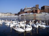 herd of swams on the visula river in cracow with wawel castel in the winter poster