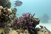 coral reef with lilac hood coral and exotic fish on the bottom of red sea in egypt - underwater photo poster