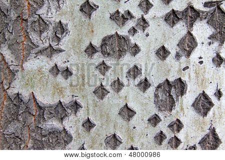 Old Populus Tomentosa Tree Bark