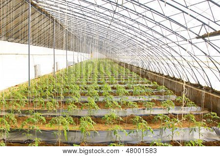 Tomato Seedling In A Green House On A Farm