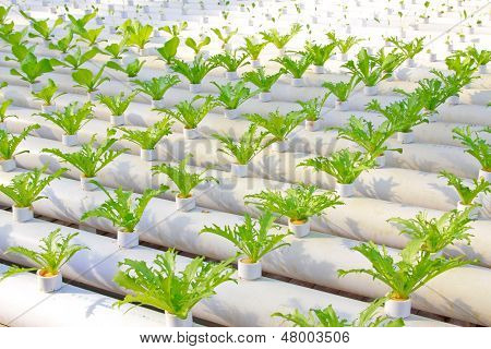 Soilless Cultivation Of Green Vegetable Seedlings In A Botanical Garden
