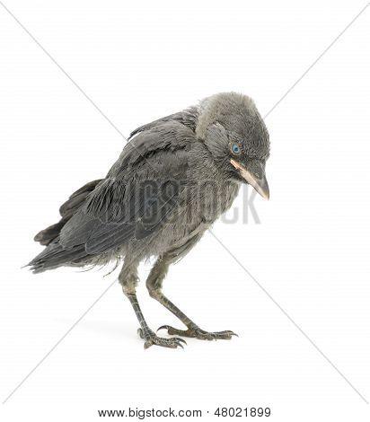 Jackdaw Bird On A White Background