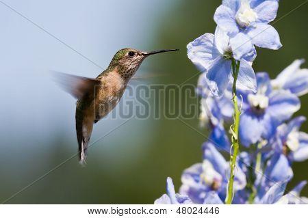 Humming Bird Feeding