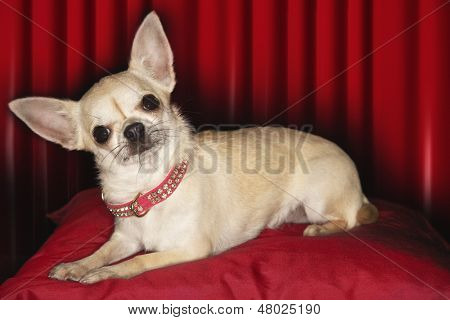 Portrait of a Chihuahua lying on red pillow against red curtain
