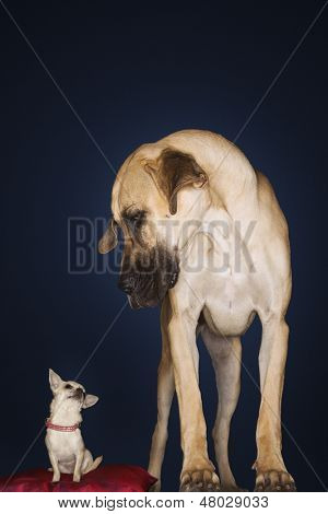 Chihuahua sitting on red pillow with Great Dane standing alongside against black background poster