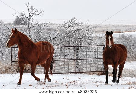 horses feeling frisky on a cold winter day in a white land of icicles poster