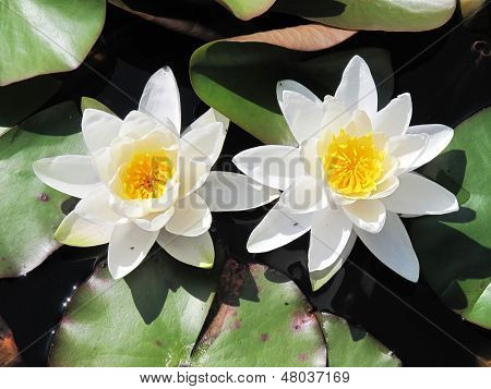 Flowers Upon Lily Pond