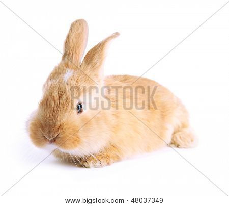 Fluffy foxy rabbit isolated on white poster