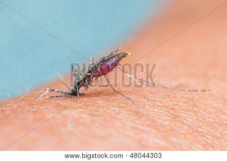 Mosquito Sucking Blood_set C-2