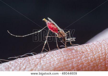 Mosquito Sucking Blood_set E-1