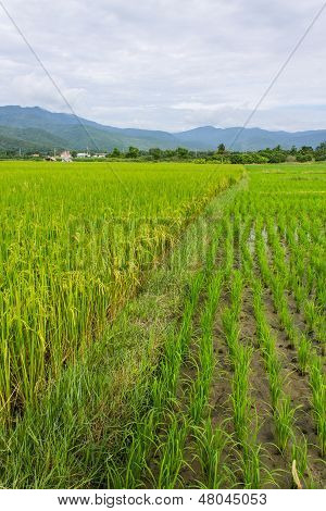 Ridge, Mountain And Rice Field In Thailand