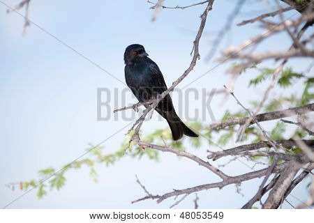 A black fork-tailed Drongo with red eyes, sitting on a tree branch poster