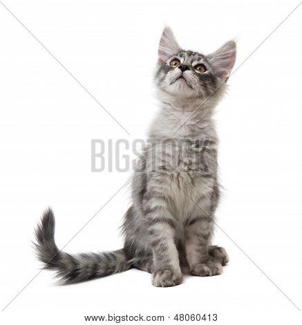 Kitten Is Looking Up