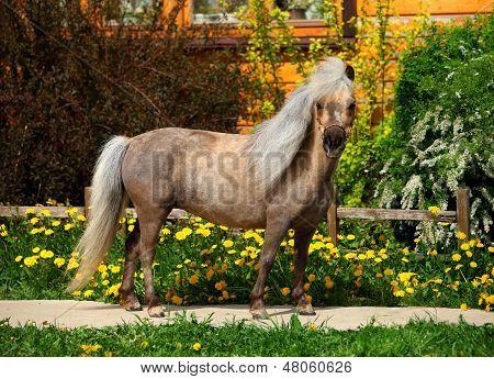 Falabella miniature horse portrait