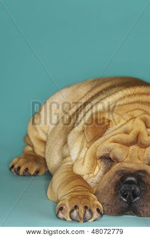 Closeup of a cropped Sharpei sleeping against turquoise background